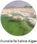 dunelielia-salina-algae